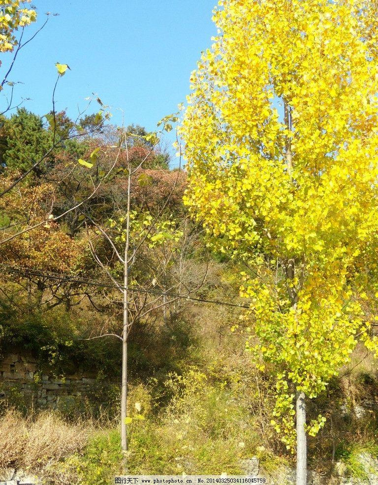 秋叶 黄树 黄色 山间 自然风光 自然风景 旅游摄影