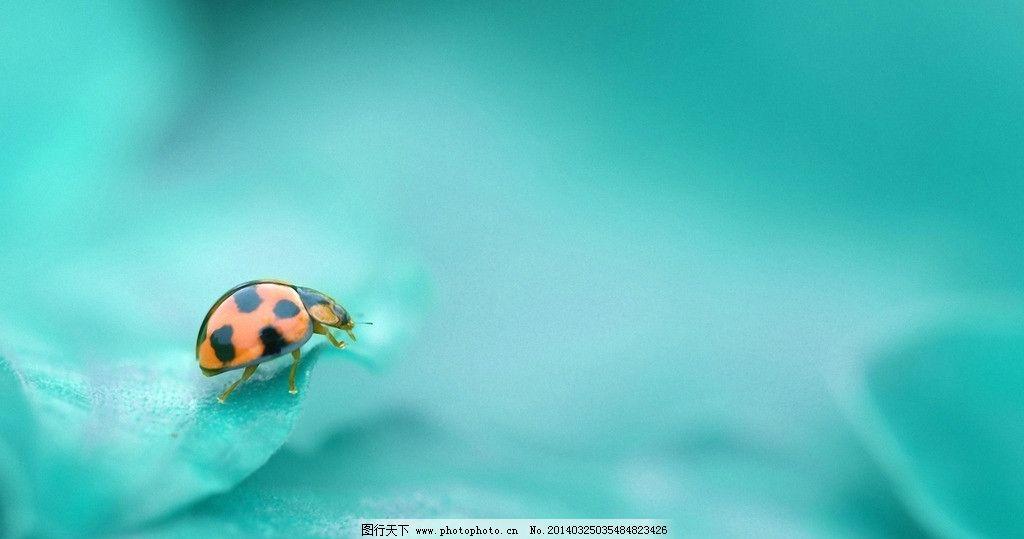 瓢虫 瓢虫图片素材下载 七星瓢虫 虫子 爬行动物 叶子 树叶 植物图片
