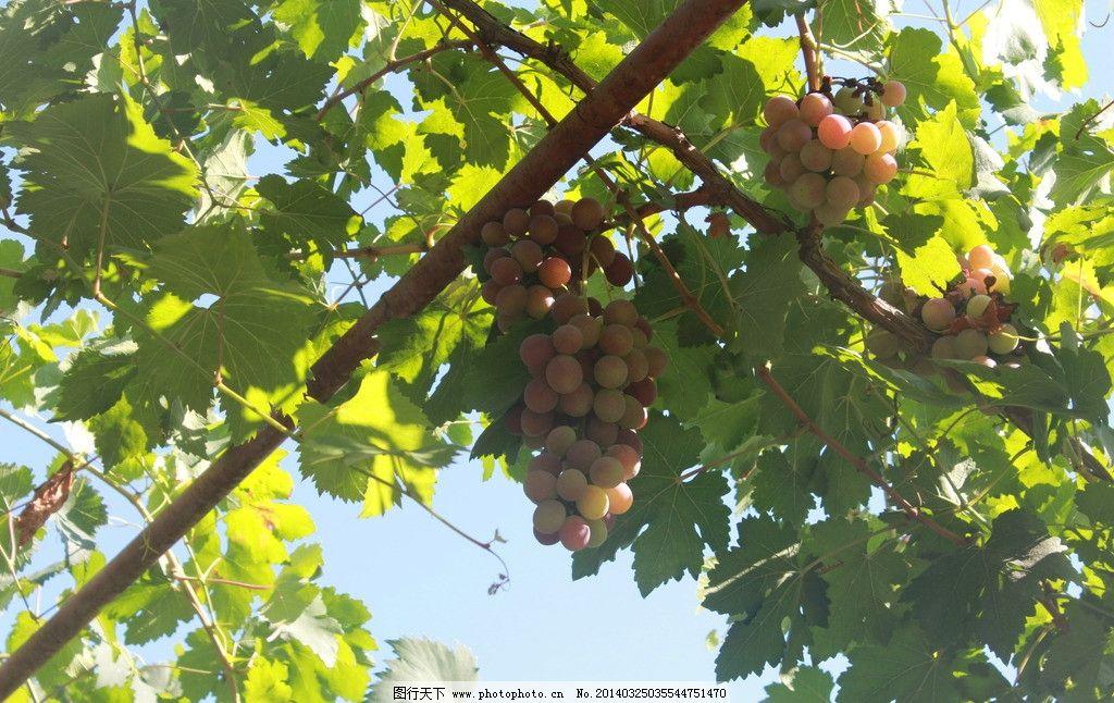 红葡萄 水果