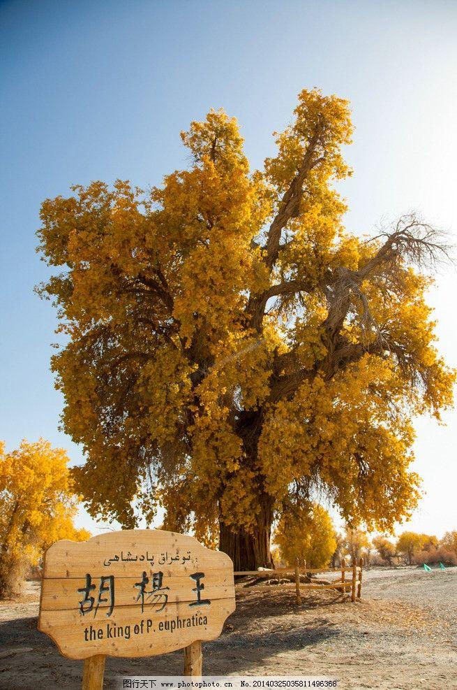 胡杨 新疆 轮台 蓝天 白云 黄叶 枯枝 沙漠 树木树叶 生物世界
