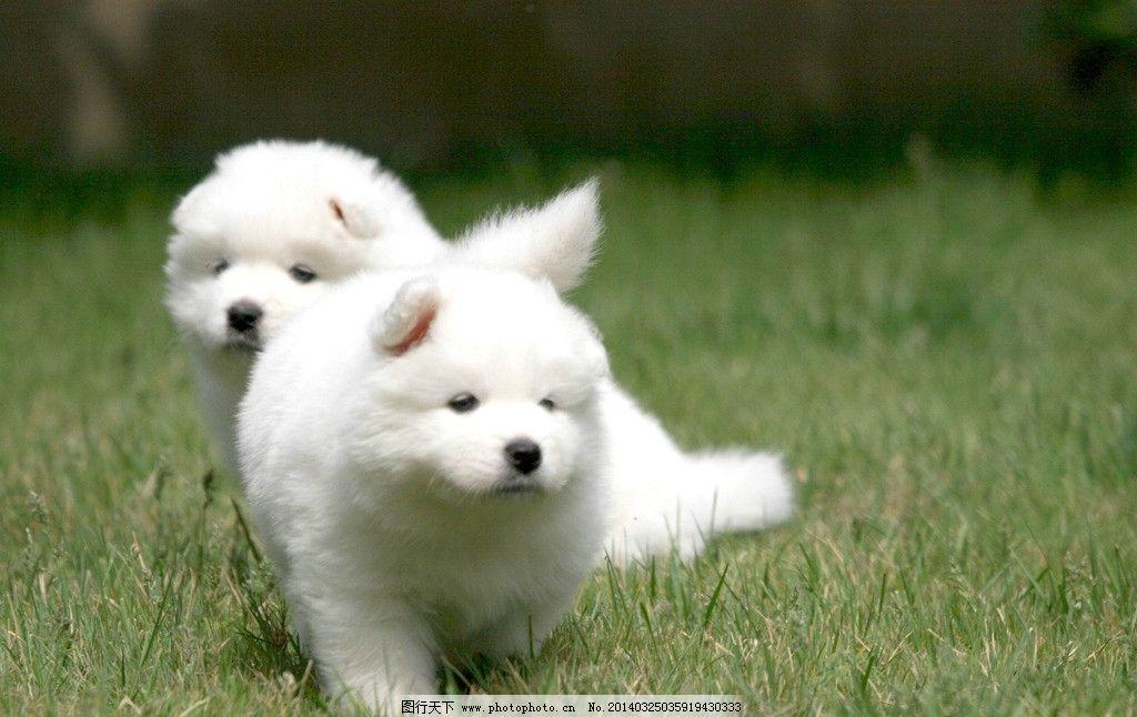 萨摩耶 萨摩耶图片素材下载 狗狗 白狗 萨摩耶犬 宠物 动物 摄影