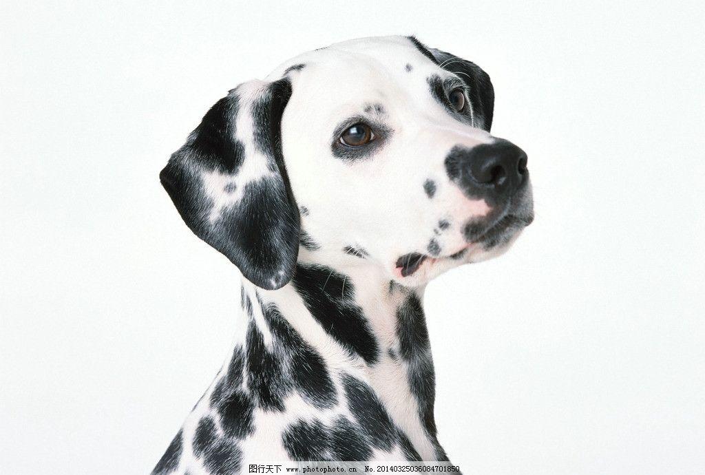 斑点狗 可爱斑点狗 小狗 犬类 宠物 看家狗 项圈 特写 家禽家畜 生物