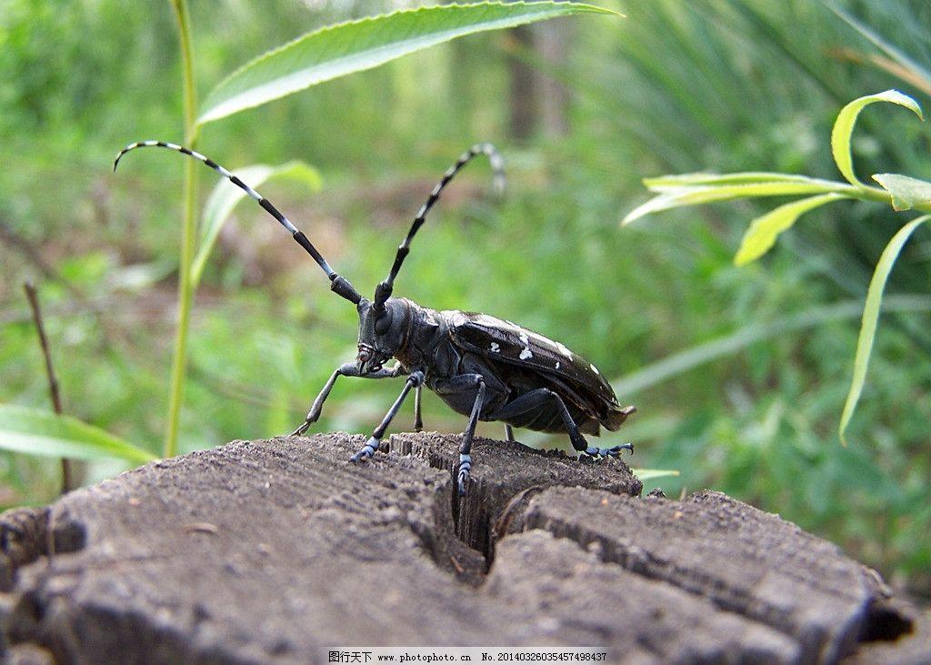 天牛 动物 生物 水牛 昆虫 节肢动物 摄影 原创 生物世界