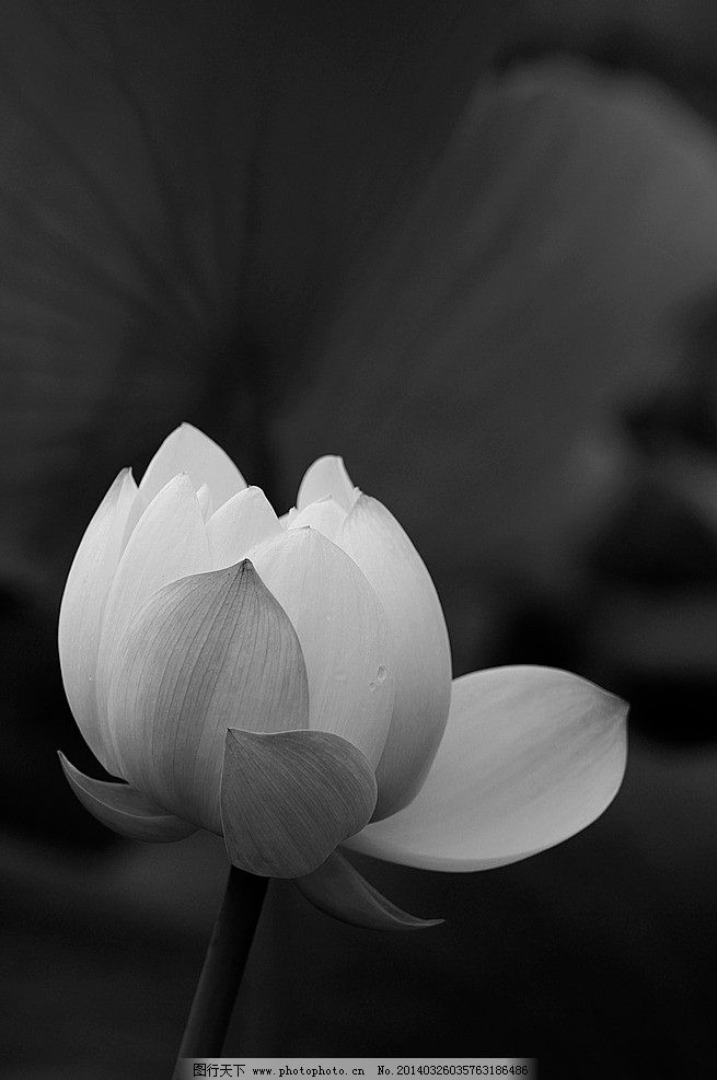 荷花 黑白荷花 莲 莲花 摄影图片