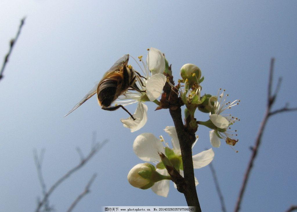 桃花 蜜蜂 白色花 蓝天 福州森林公园 摄影
