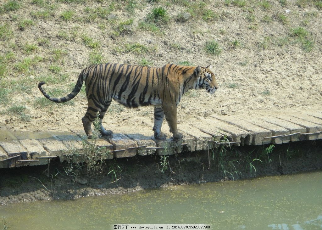 老虎 虎 猛兽 野生动物 大老虎 动物园 生物世界 摄影 72dpi jpg