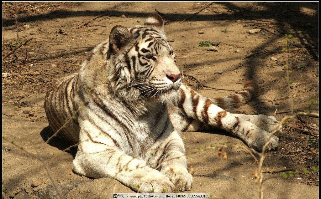 白老虎 老虎 白虎 动物园 猛兽 野生动物 生物世界 摄影 72dpi jpg