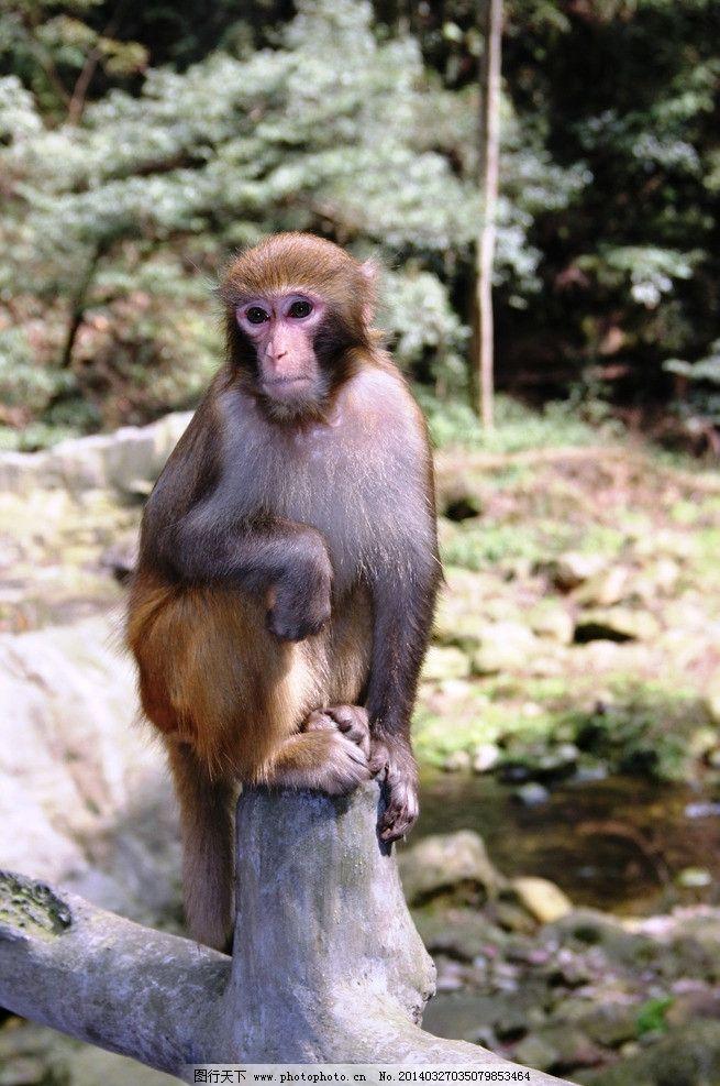 猴子 风景 特写 张家界 石头 野生动物 生物世界 摄影 72dpi jpg
