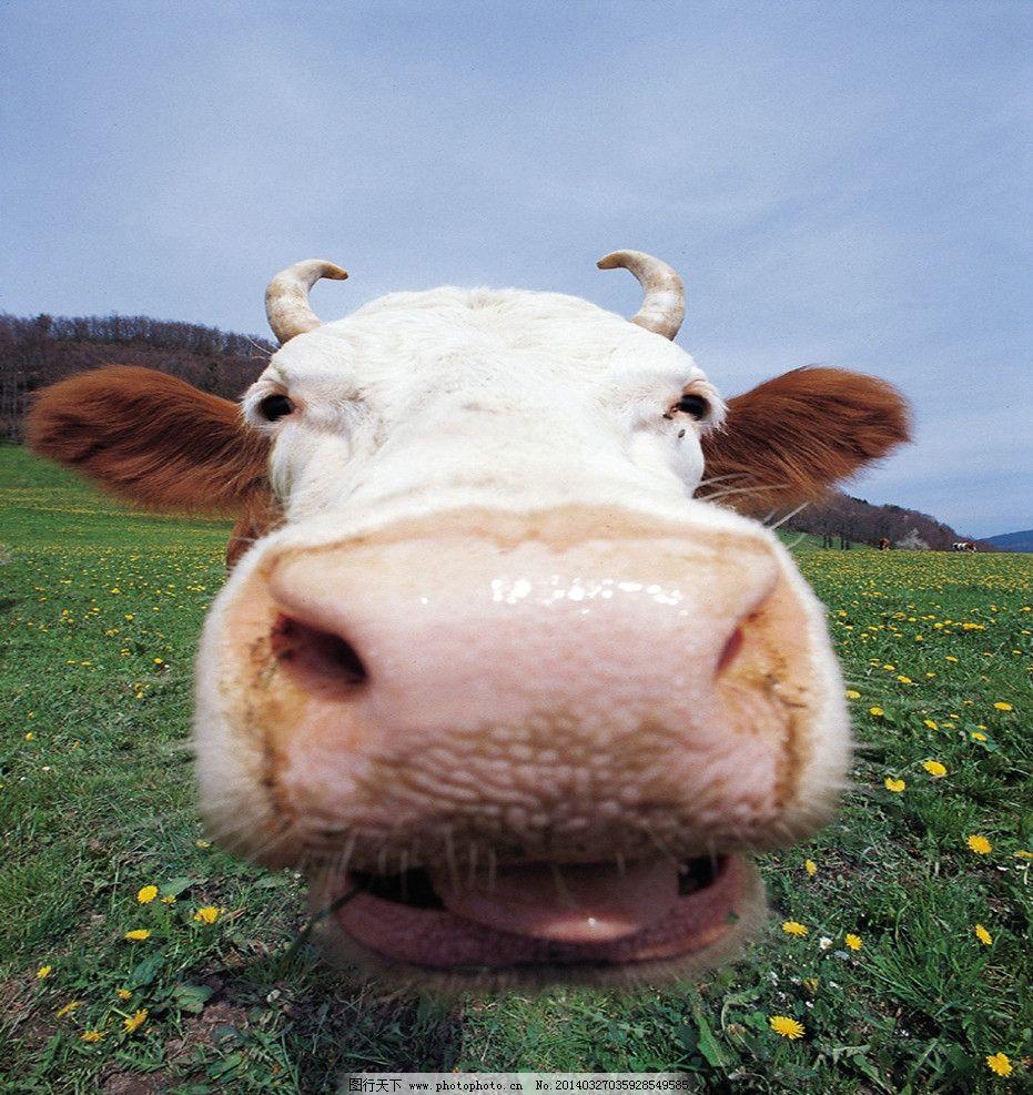牛头 牛 家畜 萌牛 奶牛 动物 家禽家畜 生物世界 摄影 72dpi jpg