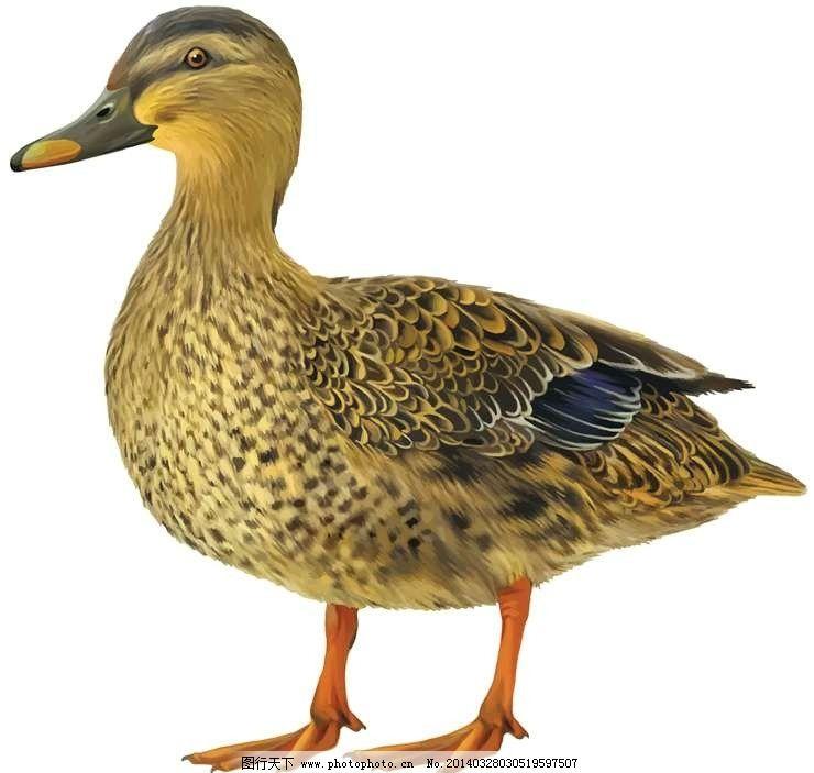 鸭子卡通动物设计动画图片