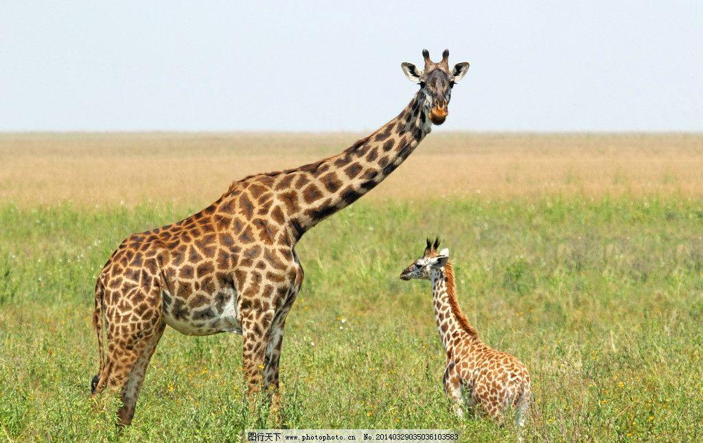 长颈鹿 野生长颈鹿 动物世界 野生动物 食草动物 非人工驯养 生物世界
