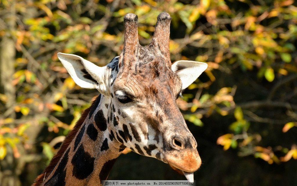 长颈鹿 野生长颈鹿 动物世界 食草动物 非人工驯养 摄影