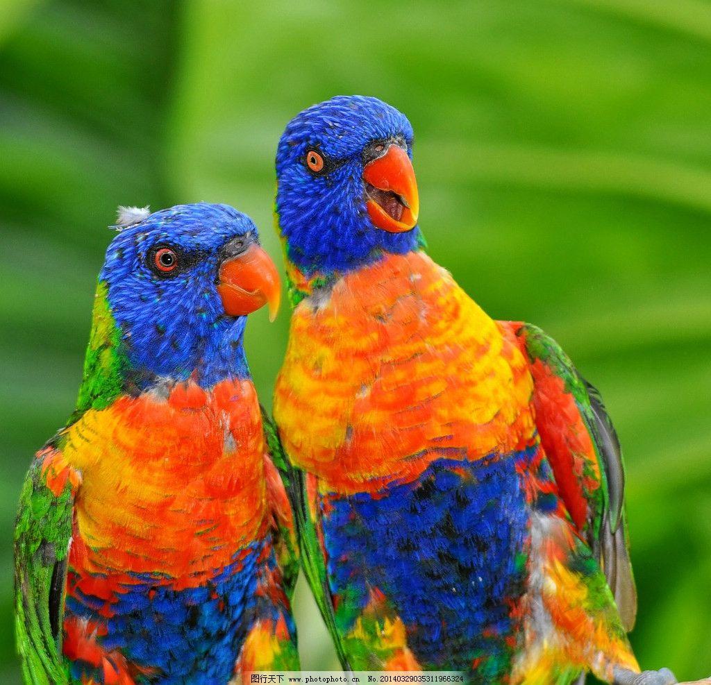 鹦鹉 可爱 羽毛 小鸟 巴哥 鸟类 生物世界 摄影