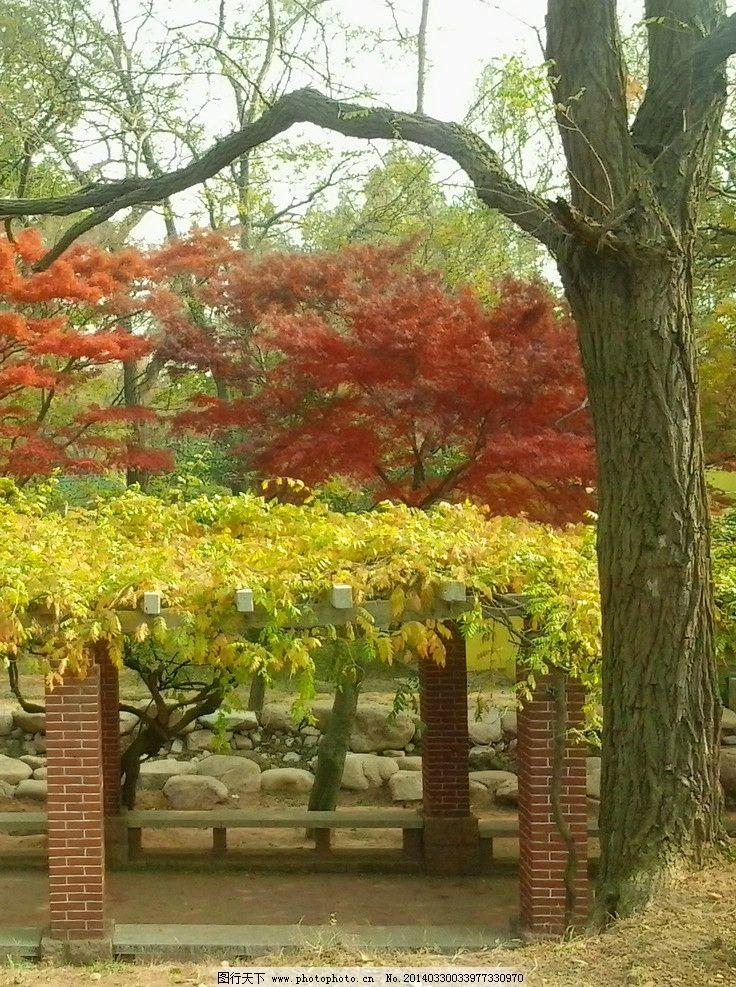 枫树 中山公园 风景 自然风景 青岛 崂山风光 旅游 摄影 青岛风光