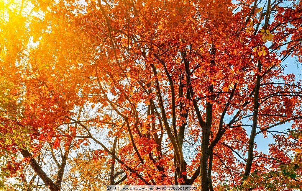 红叶 秋天 秋季 阳光 枫树 枫叶 美丽 自然 自然景色 旅游摄影图片