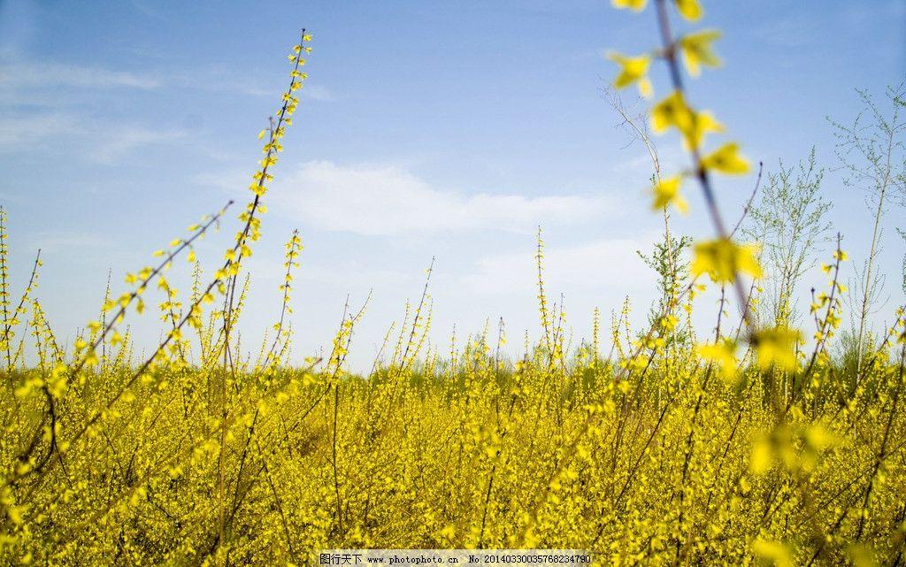 迎春花 花卉 春天 春色满园 金灿灿 花草 生物世界 摄影 240dpi jpg