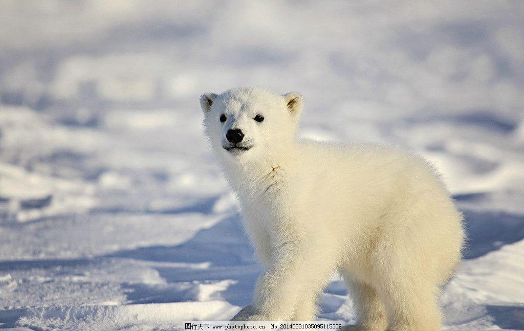 北极熊 北极熊宝宝 白 积雪 动物 阴影 冬季 野生动物 寒冷