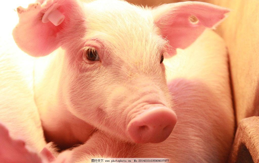 小猪猪图片