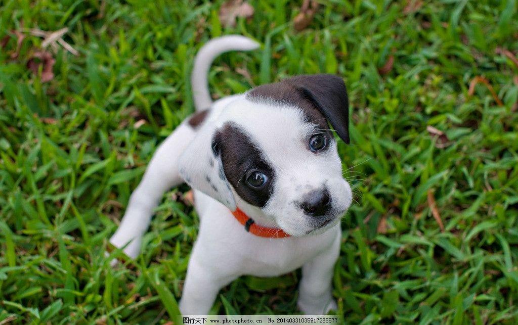 斑点狗 宠物 小狗 黑白 小草 草丛 草地 项圈 萌 可爱 动物